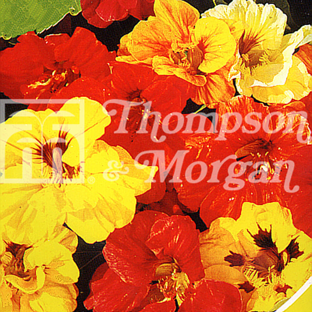 Nasturtium Double Gleam Mixed